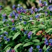 Pulmonaria angustifolia added by Shoot)