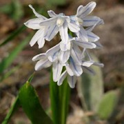 P. scilloides has narrow strap-shaped leaves and pale white blue flowers in spring. Puschkinia scilloides added by Shoot)