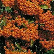 'Orange Glow' is a vigorous, throny evergreen shrub with oblong, glossy dark green leaves, and small, white flowers followed by bright orange berries. Pyracantha 'Orange Glow' added by Shoot)