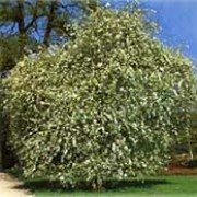 'Pendula' is a small, weeping deciduous pear tree with narrow grey leaves and creamy-white flowers in spring followed by small, brown fruits in autumn. Pyrus salicifolia 'Pendula' added by Shoot)