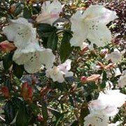 'Fragrantissimum' is a medium evergreen shrub with hairy dark green leaves and clusters of funnel-shaped, white, pink flushed flowers that are yellow in the throat. Rhododendron 'Fragrantissimum' added by Shoot)