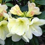 'Golden Torch' is a small shrub with bell-shaped, pale yellow flowers opening from pink-tinged buds. Rhododendron 'Golden Torch' added by Shoot)
