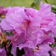 Rhododendron 'Praecox' added by Shoot)