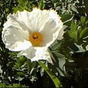 Romneya coulteri added by Shoot)