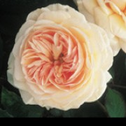 'A Shropshire Lad' is a strong-growing, healthy shrub with large, glossy leaves, and peachy-pink, cup-shaped flowers in the early stages, opening to form full rosettes. Rosa 'A Shropshire Lad' added by Shoot)