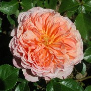 'Abraham Darby' is a shrub rose with glossy foliage and rounded, double, apricot yellow flowers with a citrus scent. Rosa 'Abraham Darby' added by Shoot)