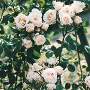R. 'Albéric Barbier' is a rambling rose.  In summer, clusters of yellow-tinted buds open to fragrant, double, creamy-white flowers. Rosa 'Albéric Barbier' added by Shoot)