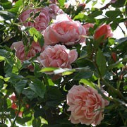 R. 'Albertine' is a rambling rose.  In summer, it produces clusters of strongly fragrant, double, coral-pink flowers. Rosa 'Albertine' added by Shoot)