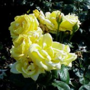R. 'Arthur Bell' is a Floribunda rose.  It is small and bushy with glossy foliage.  In summer and autumn, it produces clusters of fragrant, double, bright-yellow flowers that fade with age. Rosa 'Arthur Bell' added by Shoot)