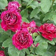 R. 'Baron Girod de l'Ain' is a Hybrid Perpetual rose.  It is a vigorous grower of bushy habit, with thorny stems and dark-green leaves.  During summer and autumn, it produces fragrant, double, dark-red flowers with some petals having subtle white markings to their edges. Rosa 'Baron Girod de l'Ain' added by Shoot)