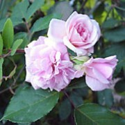'Cécile Brunner' is a Polyantha rose.  It is a small, upright shrub, producing sprays of pale-pink, fragrant flowers in summer and autumn. Rosa 'Cécile Brunner' added by Shoot)