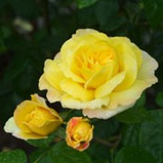 'Chinatown' is a shrub rose.  It is a medium-sized, upright shrub with bright-green foliage and clusters of fragrant, double, sunny-yellow flowers in summer and autumn.  Its buds and petals may be flushed pink at the edges. Rosa 'Chinatown' added by Shoot)