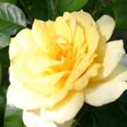 'Climbing Arthur Bell' is a climbing shrub with glossy foliage and sprays of fragrant, creamy-yellow flowers. Rosa 'Climbing Arthur Bell' added by Shoot)