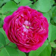 'De Rescht' is a Damask Portland rose.  it has a good covering of dark-green leaves and clusters of fragrant, double, red-purple flowers in summer and autumn. Rosa 'De Rescht' added by Shoot)