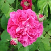 'Duc de Guiche' is a Gallica rose.  It has a good covering of mid-green foliage and clusters of strongly fragrant, red-purple, double flowers in summer. Rosa 'Duc de Guiche' added by Shoot)