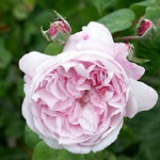'Fantin-Latour' is a vigorous, deciduous shrub with dark green leaves and large, double, fragrant, light pink flowers in summer. Rosa 'Fantin-Latour' added by Shoot)