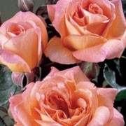 'Fragrant Delight' is a Floribunda rose.  It is a small, bushy shrub with dark-green, shiny leaves and a lax habit.  In summer and autumn, it produces clusters of fragrant, double, coral-pink flowers. Rosa 'Fragrant Delight' added by Shoot)