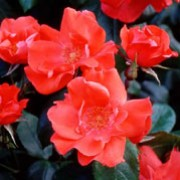 'Fred Loads' is a Shrub rose.  It is an upright, open shrub with clusters of fragrant, bright-red flowers with prominent, yellow anthers in summer and autumn. Rosa 'Fred Loads' added by Shoot)