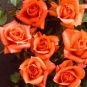 'Genesis' is a Miniature patio rose. It is a small, semi-evergreen shrub with dark-green leaves and clusters of scented, semi-double orange-peach flowers in summer and autumn. Rosa 'Genesis' added by Shoot)