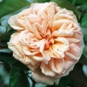 'Gloire de Dijon' is a Climbing Tea Rose.  It is a vigorous grower, with dark-green, glossy leaves and fragrant, double, creamy-orange flowers in summer and autumn. Rosa 'Gloire de Dijon' added by Shoot)