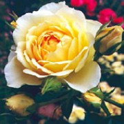 'Happy Birthday' is an almost thornless Miniature patio rose. It is a small, semi-evergreen shrub with dark-green leaves and clusters of golden flowers in summer and autumn. Rosa 'Happy Birthday' added by Shoot)
