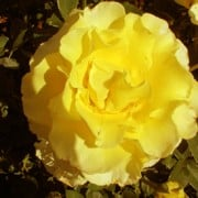 'Korresia' is a floribunda, cluster rose with bright yellow scented blooms in summer. Rosa' Korresia' added by Shoot)