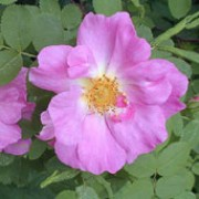 'Marguerite Hilling' is a Shrub rose.  It is an easy to grow, vigorous shrub having an arching habit and plentiful, light-green leaves.  In summer and autumn, it produces fragrant, semi-double, pink flowers with yellow centres. Rosa 'Marguerite Hilling' added by Shoot)