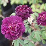 'Nuits de Young' is a Centifolia Moss rose.  It is an upright shrub with thorny stems and in summer it bears clusters of fragrant, double, dark-red flowers whose stalks and sepals have a moss-like, aromatic growth.   Rosa 'Nuits de Young' added by Shoot)