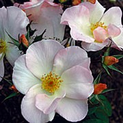 'Sally Holmes' is a Shrub rose.  It is a mid-sized, upright shrub with large, shiny leaves and clusters of lightly scented, creamy white flowers that emerge from pink-flushed buds in summer and autumn. Rosa 'Sally Holmes' added by Shoot)