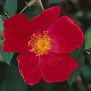 'Scharlachglut' is a Climbing Shrub rose.  It is a vigorous shrub with lax, arching branches and large, matt leaves.  In summer, it bears clusters of large, bright-red, fragrant flowers with yellow stamens, followed by orange-red hips in autumn. Rosa 'Scharlachglut' added by Shoot)