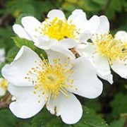 Rosa arvensis added by Shoot)