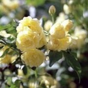 'Lutea' is a rapidly-growing, thornless climbing shrub with small leaves and clusters of small, double, pale-yellow roses in spring and summer Rosa banksiae 'Lutea' added by Shoot)