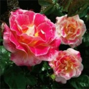 Champagne Cocktail is a Floribunda rose.  It is a semi-evergreen, medium-sized shrub with dark-green leaves.  In summer and autumn, it bears clusters of large, scented, semi-double, pink-flushed, yellow flowers. Rosa Champagne Cocktail added by Shoot)