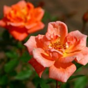 Cider Cup is a Miniature rose.  It is a dwarf, compact, semi-evergreen shrub with small, dark-green shiny leaves.  In summer and autumn, it bears clusters of semi-double, apricot flowers. Rosa Cider Cup added by Shoot)