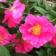 Rosa gallica var. officinalis added by Shoot)