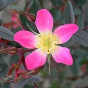 Rosa glauca added by Shoot)