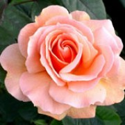 Indian Summer is a Hybrid Tea rose.  It is a small, compact shrub with dark-green, shiny leaves and double, fragrant, apricot-orange flowers in summer and autumn. Rosa Indian Summer added by Shoot)