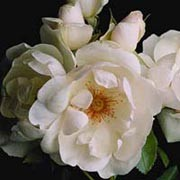 Jacqueline du Pré is a Shrub rose.  It is a neat, rounded, semi-evergreen shrub with shiny, dark-green leaves.  In  summer and autumn, it bears clusters of fragrant, semi-double, pink-tinted, white flowers with orange-yellow stamens. Rosa Jacqueline du Pré added by Shoot)