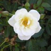 Kent is a Shrub rose.  It is a low, spreading shrub with dark-green, shiny foliage  and large clusters of semi-double, white flowers with yellow stamens in summer and autumn. Rosa Kent added by Shoot)