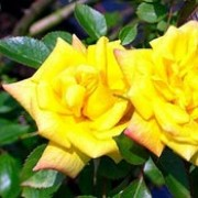 Laura Ford is a Miniature Climbing rose.  It is a climbing shrub with plentiful, dark-green, shiny leaves and clusters of scented, double, yellow flowers that may fade to pink, in summer and autumn. Rosa Laura Ford added by Shoot)
