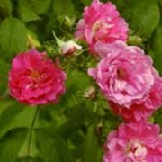 'Seven Sisters' is an old, vigorous climbing rose which gets its name from the various shades in the abundant blossoms, which start out a dark pink and then fade to a pale purple color in summer and autumn. Rosa multiflora platyphylla added by Shoot)