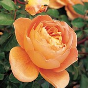 Pat Austin is a Shrub rose.  It has dark-green, shiny leaves and in summer, bears large, fragrant, orange-pink flowers, with edges slightly paler in colour. Rosa Pat Austin added by Shoot)