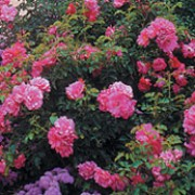 Pink Flower Carpet is a Ground Cover rose.  It is a vigorous, semi-evergreen, spreading shrub with dark-green, shiny leaves.  In summer and autumn, it bears large sprays of bright-pink, semi double flowers. Rosa Pink Flower Carpet added by Shoot)