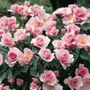 Queen Mother is a dwarf bush rose with plentiful, shiny, dark-green leaves.  In summer and autumn, it bears sprays of lightly scented, semi-double, pale-pink flowers with yellow stamens. Rosa Queen Mother added by Shoot)
