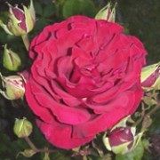 Royal William is a Hybrid Tea rose.  It is a vigorous shrub with attractive, dark-green leaves and in summer and autumn, bears large, fragrant, deep-red, double flowers. Rosa Royal William added by Shoot)