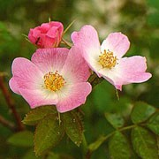 Rosa rubiginosa added by Shoot)