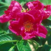 'Rubra' It is an upright, bushy shrub with thorny stems and shiny, bright-green, wrinkled foliage. In summer and autumn, it bears clusters of single, yellow-centred, dark-pink flowers. Rosa rugosa 'Rubra' added by Shoot)