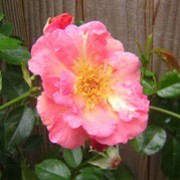 Summer Wine is a fast-growing climber with glossy, dark green foliage and very fragrant, single, coral-pink flowers. Rosa Summer Wine added by Shoot)
