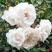 Swany is a miniature rose.  It is a low-growing, spreading shrub with shiny, dark-green leaves and in summer and autumn, bears large clusters of double, small, white flowers. Rosa Swany added by Shoot)