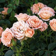 Sweet Dream is a Patio rose.  It is a dwarf shrub with relatively small, dark-green, shiny leaves and in summer and autumn, bears clusters of lightly fragrant, double, apricot-pink flowers. Rosa Sweet Dream added by Shoot)
